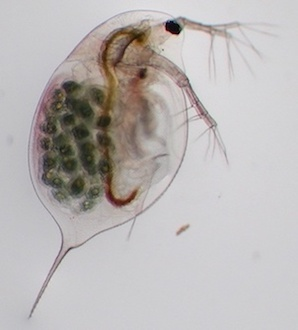 Daphnia longispina female with eggs copyright Dieter Ebert