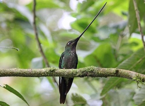 Sword-billed Hummingbird Copyright Dick Daniels Carolinabirdsdotorg