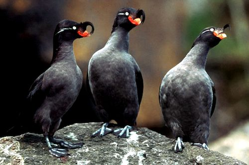 Three Crested Auklets Standing Copyright Julie C. Hagelin