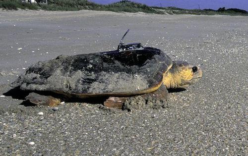 loggerhead-sea-turtle-USFWS public domain
